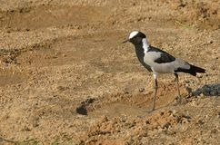 Blacksmith lapwing (Plover)(Vanellus armatus) Royalty Free Stock Images