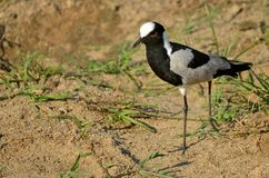 Blacksmith lapwing (Plover)(Vanellus armatus) Stock Photo