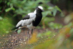 Blacksmith lapwing Stock Photography
