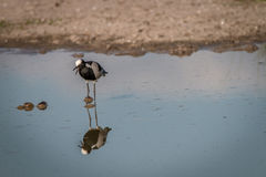 A Blacksmith lapwing standing in the water. Royalty Free Stock Photography