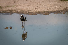 A Blacksmith lapwing standing in the water. Stock Photos