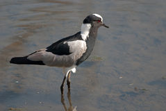 Blacksmith Lapwing Stock Photos
