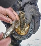 Blacksmith nails new horse shoe onto hoof. Blacksmith nails new horse shoe onto prepared and burnt hoof. Winter morning in horse farm. Traditional animal care stock images