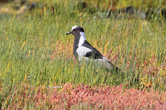 Blacksmith Plover Stock Photo