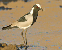 Blacksmith plover Stock Photos