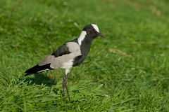 Blacksmith Plover Royalty Free Stock Photo