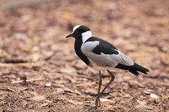 Blacksmith plover Royalty Free Stock Photography