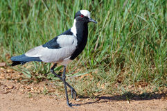 Blacksmith Plover. Royalty Free Stock Photography