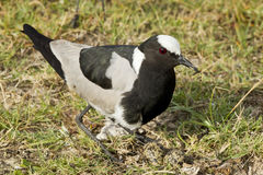 Blacksmith Plover and eggs Royalty Free Stock Photography