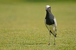 Blacksmith Plover on green grass Stock Photo