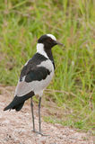 Blacksmith Plover Kenya Stock Photography