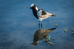 Blacksmith plover reflected in shallows with plants Stock Photo