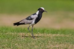 Blacksmith plover (vanellus armatus) Royalty Free Stock Images