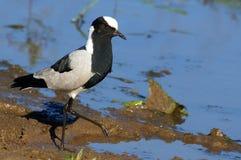 Blacksmith plover (Vanellus armatus) Royalty Free Stock Photo
