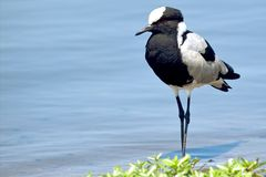 Blacksmith plover (Vanellus armatus) Stock Images