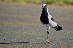 Blacksmith Plover (Vanellus armatus) Stock Photo