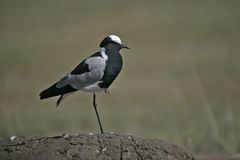 Blacksmith plover, Vanellus armatus Royalty Free Stock Image