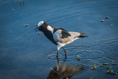 Blacksmith plover wading through shallows of river Stock Photos