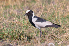 Blacksmith plover Royalty Free Stock Images