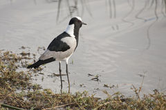Blacksmith Plover at waters edge Royalty Free Stock Photography