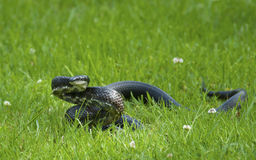 Blacksnake coiled and ready to strike. Royalty Free Stock Photos