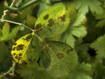 Blackspot on rose leaves. Photo shows some leaves of roses infected by blackspot fungus Stock Images