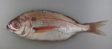 Blackspot seabream on grey background Stock Photo