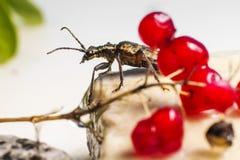 Blackspotted жук поддержки плоскогубцев (mordax Rhagium) Стоковое фото RF