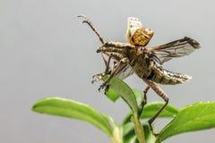 Blackspotted жук поддержки плоскогубцев (mordax Rhagium) Стоковое Фото