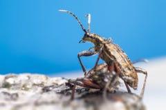 Blackspotted жук поддержки плоскогубцев (Rhagium mo Стоковые Фото