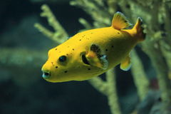 Blackspotted puffer Royalty Free Stock Photography