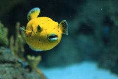 Blackspotted puffer Stock Photos
