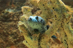 Blackspotted Puffer Stockfotos
