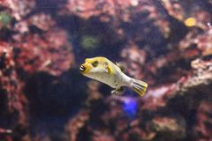 Blackspotted puffer Royalty Free Stock Photos