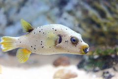 Blackspotted puffer Stock Photography
