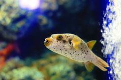 Blackspotted puffer Stock Image