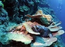 Blackspotted Puffer Fish. (arothron nigropunctatus) resting on plate coral Stock Photos