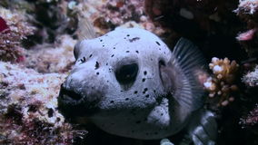 Blackspotted puffer fish pufferfish. Close up. stock video footage