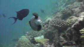 Blackspotted puffer fish pufferfish. Close up. stock footage