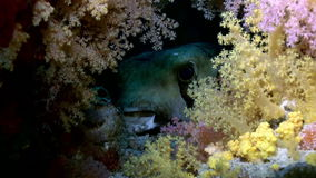 Blackspotted puffer fish pufferfish. Close up. stock video