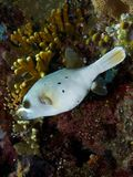 Blackspotted Puffer Fish Royalty Free Stock Images