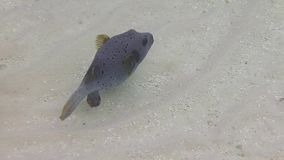 A blackspotted puffer swims in coral reef stock video footage