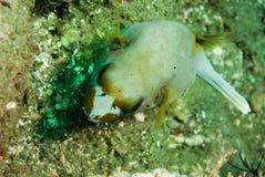 Blackspotted pufferfish in Ambon, Maluku, Indonesia underwater photo Royalty Free Stock Photos