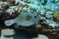 Blackspotted pufferfish underwater Royalty Free Stock Photo