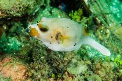 Blackspotted pufferfish i Ambon, Maluku, Indonesien undervattens- foto Royaltyfria Bilder
