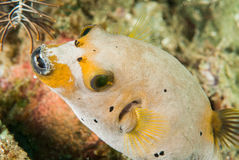 Blackspotted pufferfish i Ambon, Maluku, Indonesien undervattens- foto Arkivbild