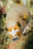 Blackspotted pufferfish i Ambon, Maluku, Indonesien undervattens- foto Arkivfoto