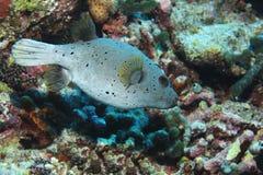 Blackspotted pufferfish underwater Stock Photos