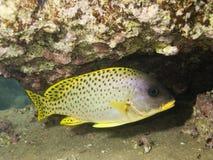blackspotted rubberlip рыб Стоковое Изображение RF