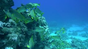 Blackspotted rubberlip Plectorhinchus gaterinus in Red sea stock footage